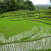 Rice_fields_Chiang_Mai